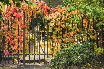 covered Partnenotsissus. Autumn, Europe. City street.