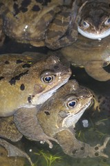 Frogs, common frog, (rana temporaria) adults in mating activity in garden pond in spring, UK, March