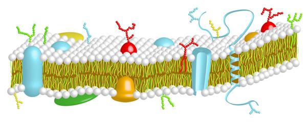 Cytoplasma - Teil einer Zellmembran