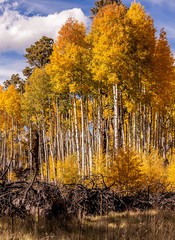 Forest of Yellow Aspens in the Fall