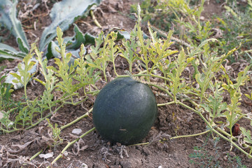 Watermelon in vegetable garden.