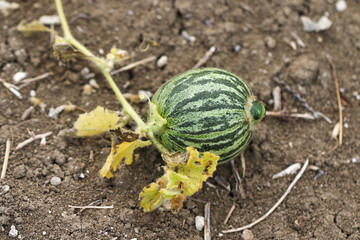 Watermelon in vegetable garden.