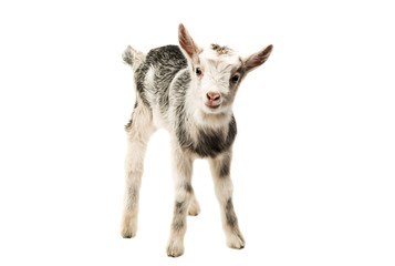 Gray goat isolated