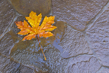 A yellow leaf of  the bigleaf maple, Acer macrophyllum, on the pavement after rain in Oregon, USA. The leaf of this species of maple is the largest known. Abstract background- season concept