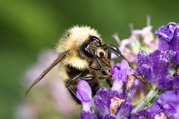 bumblebee feeding on lavender flowers