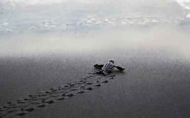 Fotorolgordijn Schildpad Leatherback sea turtle hatchling