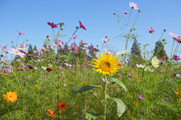 コスモス畑に季節外れのひまわり