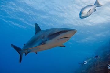 Grey Reef Shark underwater