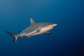 Grey Reef Shark underwater