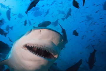 Shark closeup portrait of opened jaws. Underwater extreme in Pacific ocean
