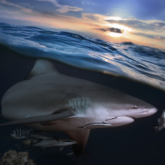separated image water surface in sunlight and angry shark underw