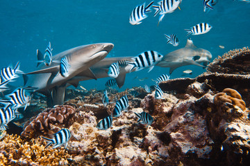 White tip sharks in coral reef