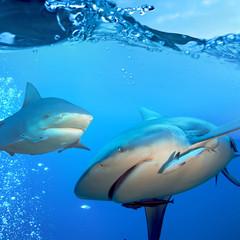 two bull sharks underwater