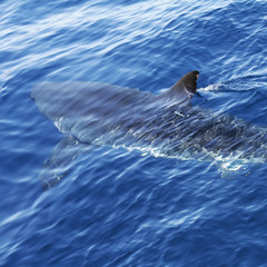 Great White Shark in blue ocean. Predator hunting near water surface.
