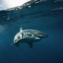 Great White Shark in blue ocean. Underwater photography. Predator hunting near water surface