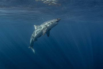 Wall Mural - Great White Shark underwater in deep blue