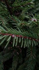 Ветки соснового дерева