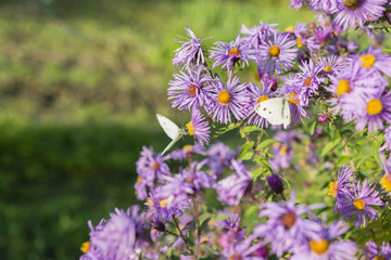 Butterfly cabbage white on flowers purple daisies.