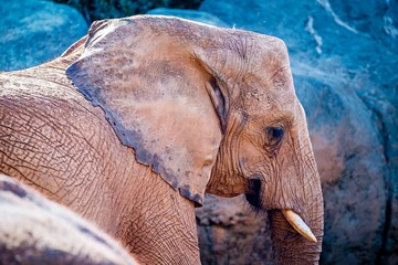 African Elephant (Loxodonta Africana) feeding time at the zoo