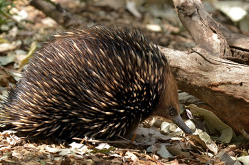 Australian Echidna search for foodin the bush