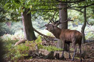 Majestic powerful red deer stag Cervus Elaphus in forest landsca
