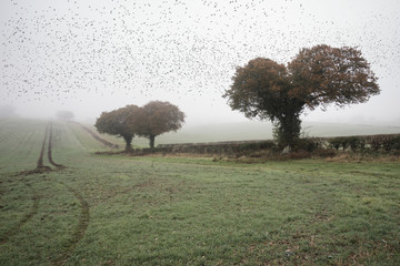 Starling murtmuration in foggy misty Autumn morning landscape in