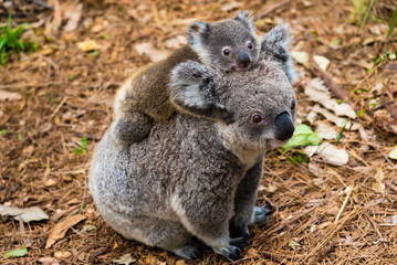 Australian koala bear native animal with baby