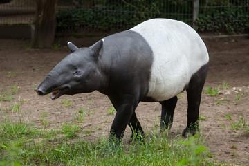 Malayan tapir (Tapirus indicus).