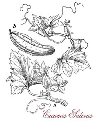 Cucumber, botanical vintage engraving.Cucumber is a widely cultivated plant with tendrils, large leaves with cucumiform watery fruits used as vegetable, eaten raw in salad or for pickling