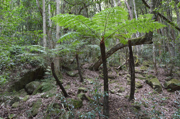 Silver tree-fern grows in the rainforest of Jamison Valley at th