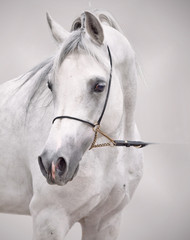 portrait of white arabian horse at grey background