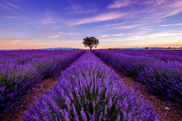 Wall Murals Violet Tree in lavender field at sunrise in Provence, France