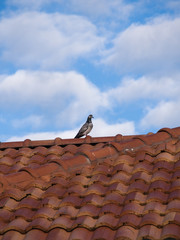 Pigeon Standing on The Roof
