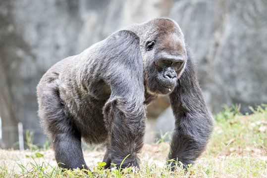 Silver back gorilla looking alert and menacing against a natural