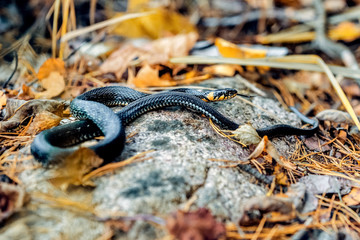 Little snake Natrix basking on a rock in autumn