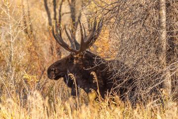 Bull Shiras Moose in Fall