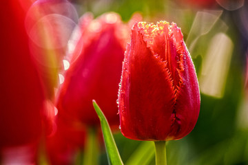 red tulip on blurred background of green garden bokeh