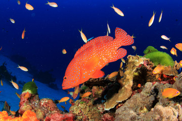 Coral reef fish in sea ocean underwater