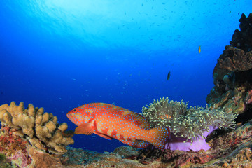 Coral reef fish in sea ocean underwater