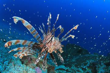 Lionfish tropical fish