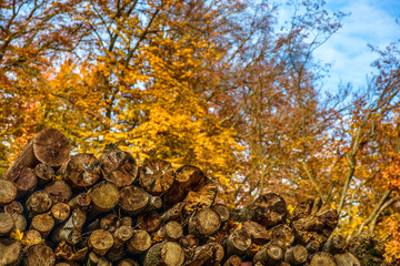 Yellow dry chopped conifer firewood logs on autumn forest background
