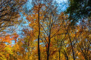tall trees with yellow and orange foliage in autumn forest on sunny day with blue sky