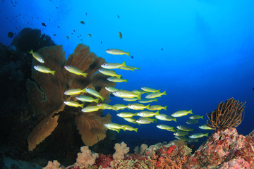 Fish school underwater on coral reef
