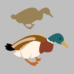 Wild duck vector illustration set style Flat