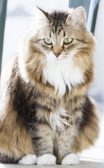 Tender cat of siberian breed in the house