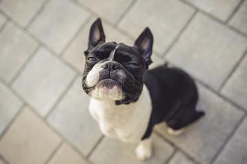 Grumpy Looking Boston Terrier