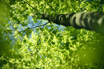 Looking up into the beech tree with fresh green spring leaves
