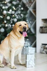 Labrador dog with a gift
