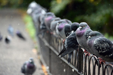 Pigeons in the Rain