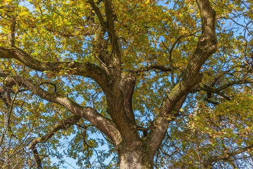 eichenbaum im herbst stockfotos und lizenzfreie bilder. Black Bedroom Furniture Sets. Home Design Ideas